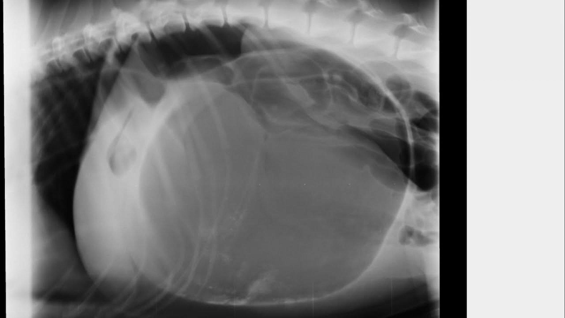 sintomas del perro cuando se le da vuelta el estomago