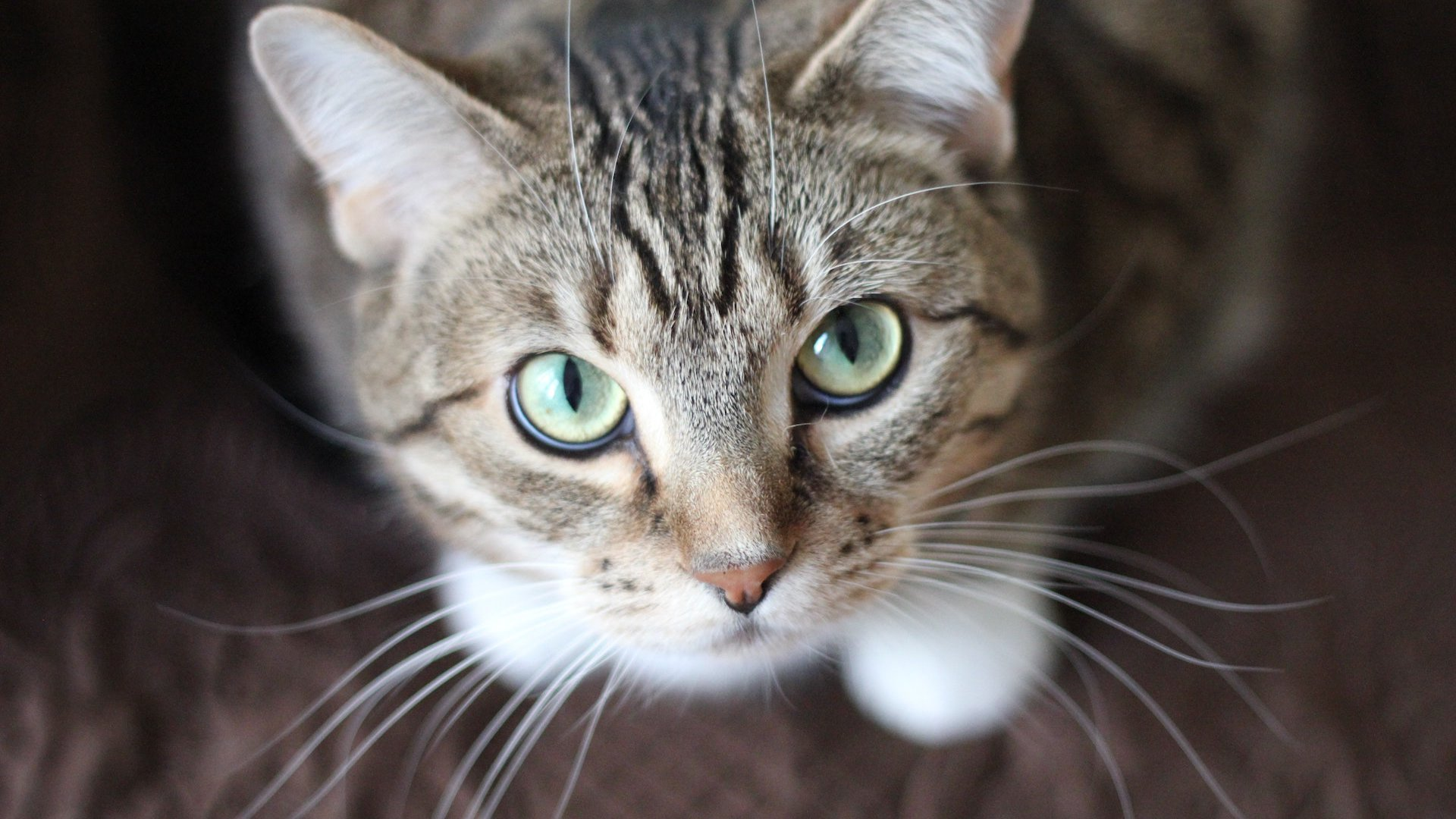 Cistitis y estrés en los gatos