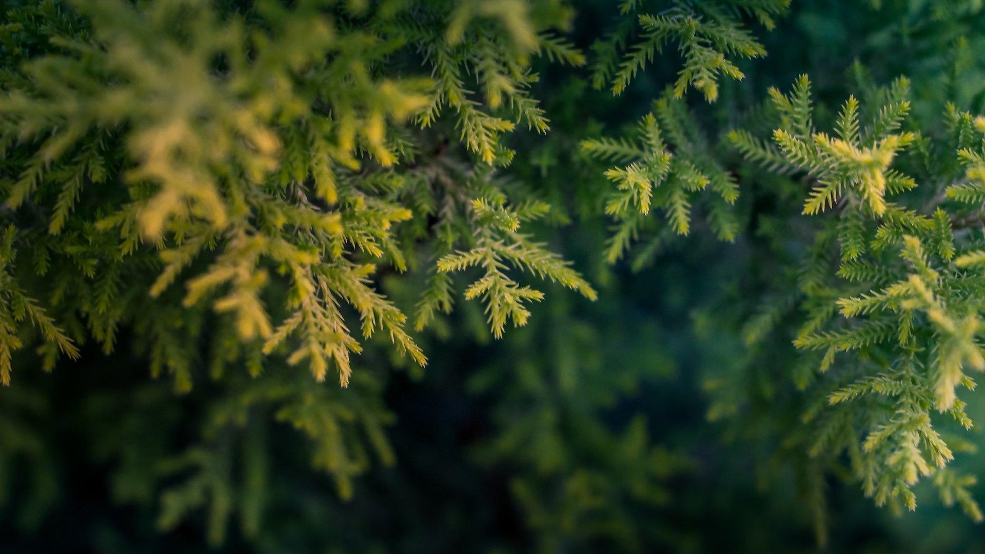 La procesionaria del pino